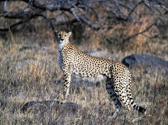 Cheetah_Kruger_National_Park,_South_Africa,_2001_s.jpg