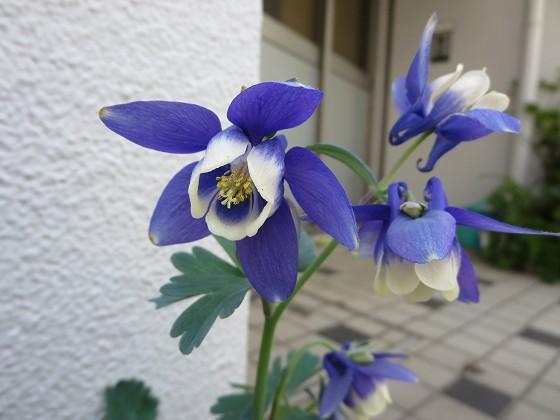 2018-04-22_1146_オダマキ_IMG_0345_s.JPG