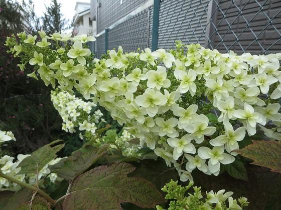 2018-05-19_1435_カシワバアジサイ_IMG_0768_s.JPG