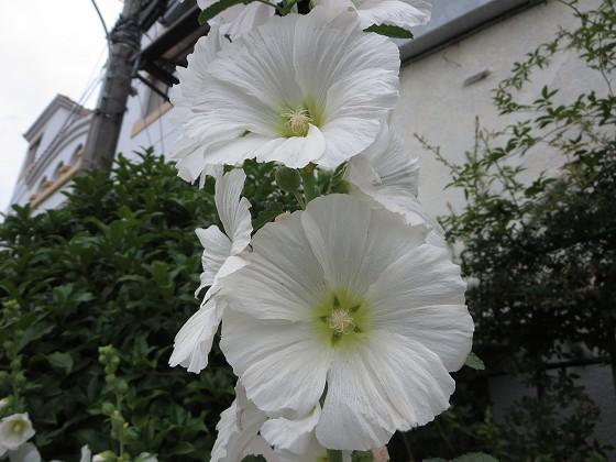 2018-05-28_0951_タチアオイ_IMG_0943_s.JPG