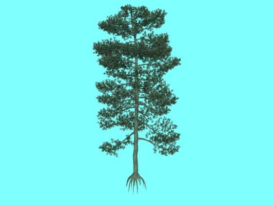 樹高が20mのビショップ松