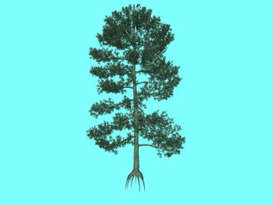 樹高が11mのビショップ松