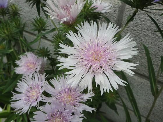 2018-06-13_1105_ストケシア(ルリギク・瑠璃菊)_IMG_1169_s.JPG