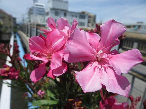 2018-06-14_1134_キョウチクトウ_IMG_1185_s.JPG