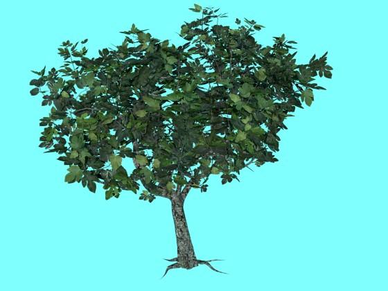 Tree Ficus Carica N280518
