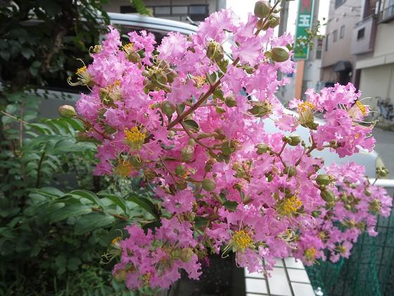 2018-08-11_1010_サルスベリ_IMG_1546_s.JPG