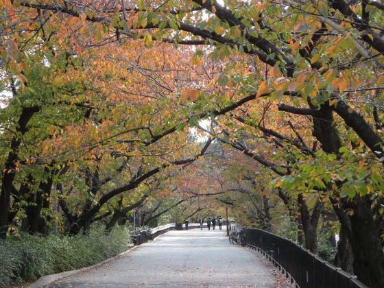 2018-11-20_1252_桜紅葉・夙川_IMG_2753_s.JPG
