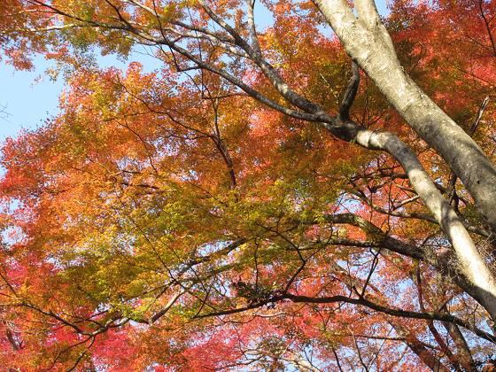 2018-11-27_1334_箕面・紅葉_IMG_6336_s.JPG