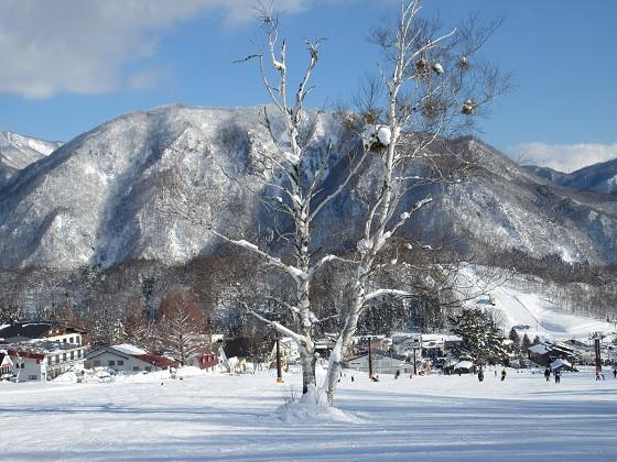 2019-01-27_1455_カラマツゲレンデ中央の白樺の大木_IMG_6843_s.JPG