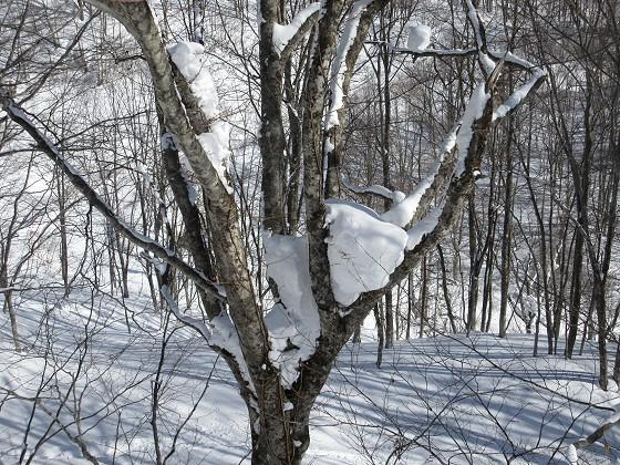 2019-01-30_1005_ハンの木高速ペアリフト沿いの半の大木の股に積もった雪_IMG_6967_s.JPG