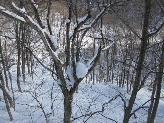 2019-02-01_0852_ハンの木高速ペアリフトから見たハンの木の大木の股に積もった雪_IMG_7035_s.JPG
