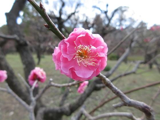 2019-02-12_1240_大阪城梅林_IMG_7196_s.JPG