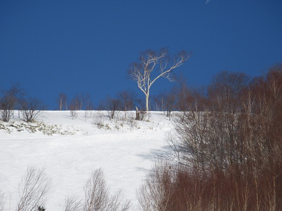 2019-02-18_1444_つが第2ペアリフトから見た栂の森ゲレンデ最上部のダケカンバ_IMG_7272_s.JPG