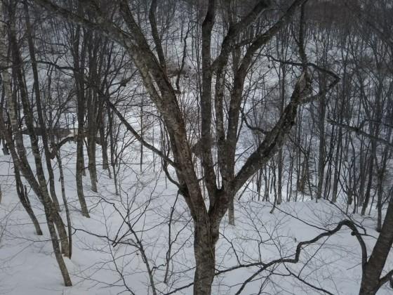 2019-02-27_0918_ハンの木高速ペアリフト沿いのハンの木の大木の太股に雪がない_DSC_0121_s.JPG