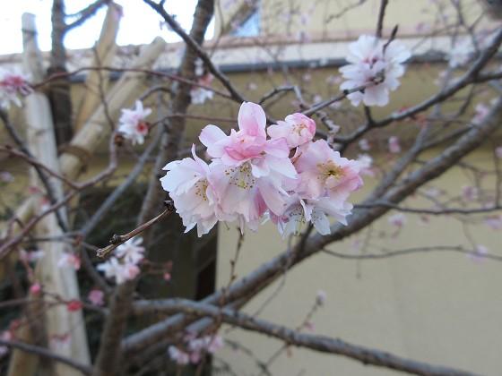2019-03-02_1143_冬桜_IMG_7356_s.JPG