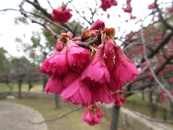 2019-03-03_0928_カンヒザクラ_IMG_7402_s.JPG