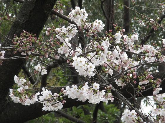 2019-03-28_0956_ソメイヨシノ(西公園)_IMG_7675_s.JPG