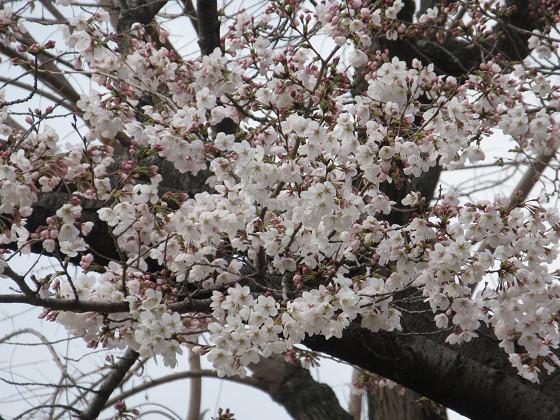 2019-03-28_1038_ソメイヨシノ(近松公園)_IMG_7708_s.JPG