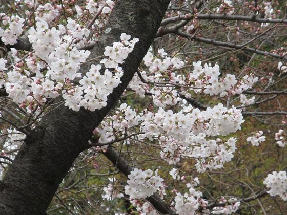 2019-03-28_1038_ソメイヨシノ(近松公園)_IMG_7709_s.JPG