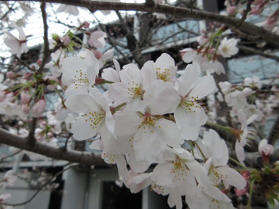 2019-03-28_1102_ソメイヨシノ(昆陽川)_IMG_7721_s.JPG