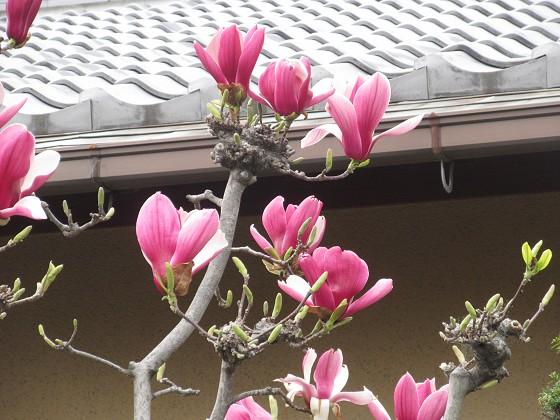 2019-03-30_1226_シモクレン_IMG_7727_s.JPG