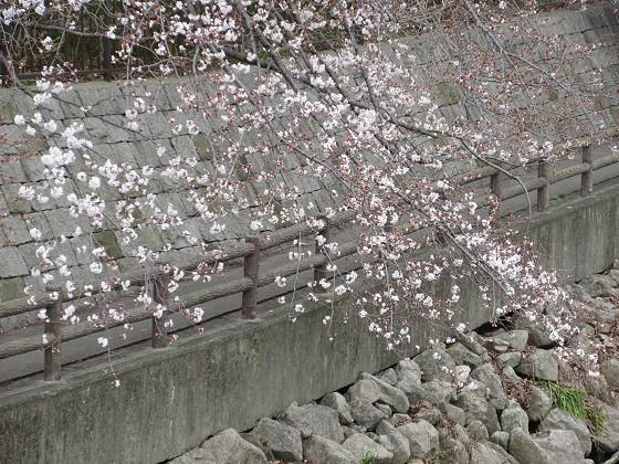 2019-03-30_1234_ソメイヨシノ(庄下川)_IMG_7731_s.JPG