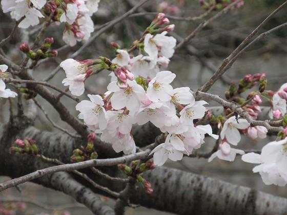2019-03-30_1235_ソメイヨシノ(庄下川)_IMG_7733_s.JPG