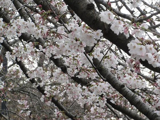 2019-03-30_1236_ソメイヨシノ(庄下川)_IMG_7735_s.JPG