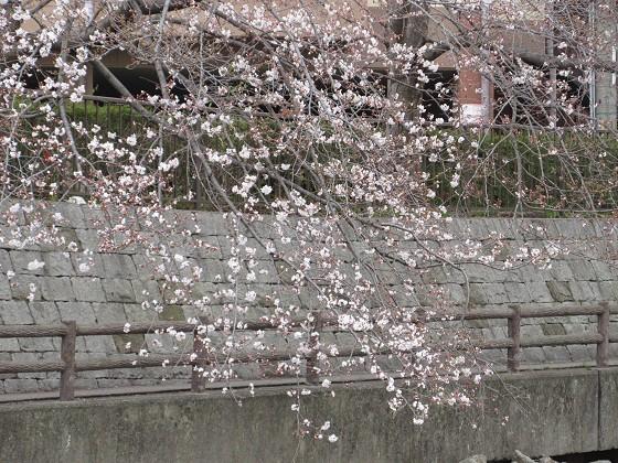 2019-03-30_1237_ソメイヨシノ(庄下川)_IMG_7736_s.JPG