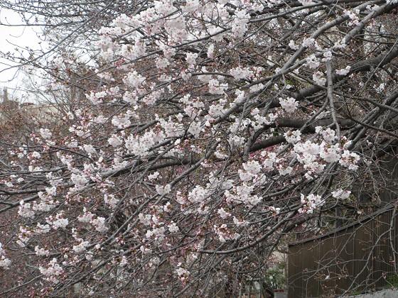 2019-03-30_1239_ソメイヨシノ(庄下川)_IMG_7738_s.JPG