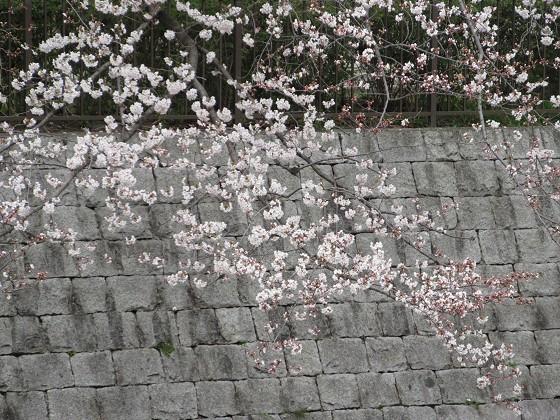 2019-03-30_1243_ソメイヨシノ(庄下川)_IMG_7744_s.JPG