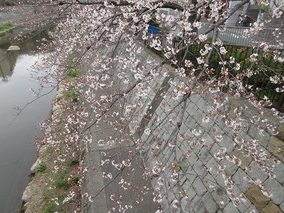 2019-03-30_1245_ソメイヨシノ(庄下川)_IMG_7746_s.JPG