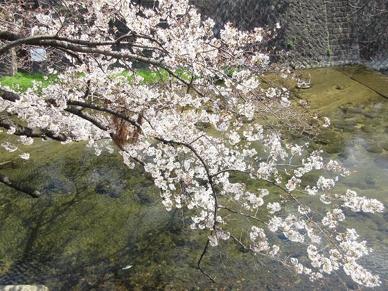 2019-04-02_1110_サクラ_IMG_7755_s.JPG