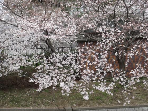 2019-04-02_1124_サクラ_IMG_7764_s.JPG