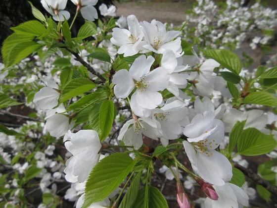 2019-04-02_1137_山サクラ_IMG_7773_s.JPG
