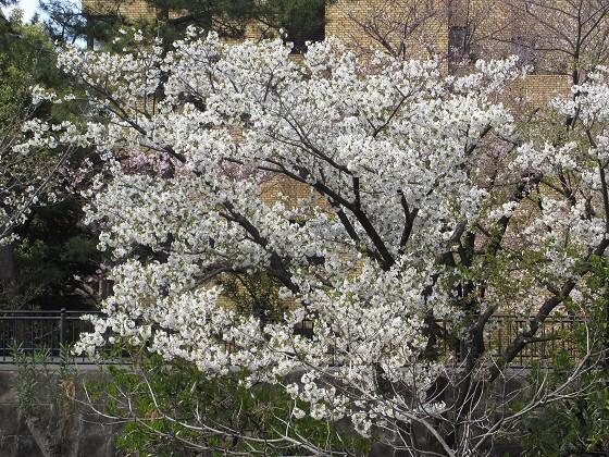 2019-04-02_1138_山サクラ_IMG_7774_s.JPG