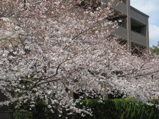 2019-04-02_1141_サクラ_IMG_7775_s.JPG