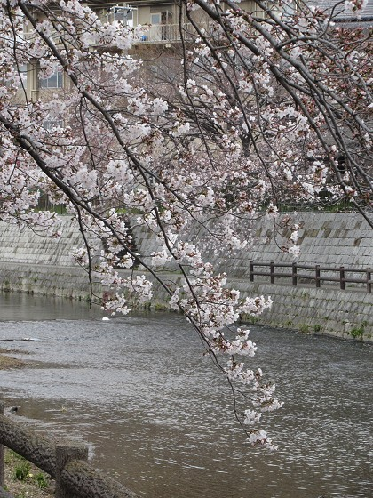 2019-04-03_1049_サクラ_IMG_7805_s.JPG