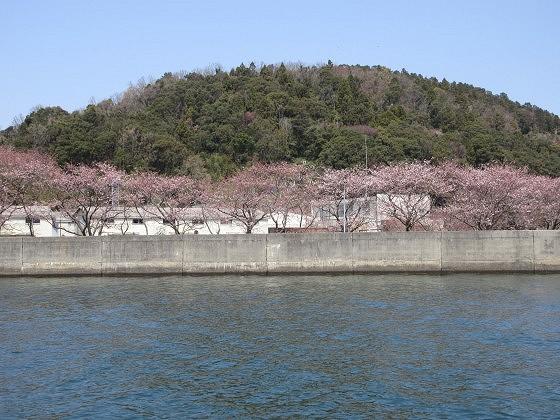 2019-04-06_1200_沖島漁港の桜_IMG_7853_s.JPG