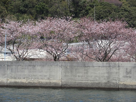 2019-04-06_1200_沖島漁港の桜_IMG_7855_s.JPG