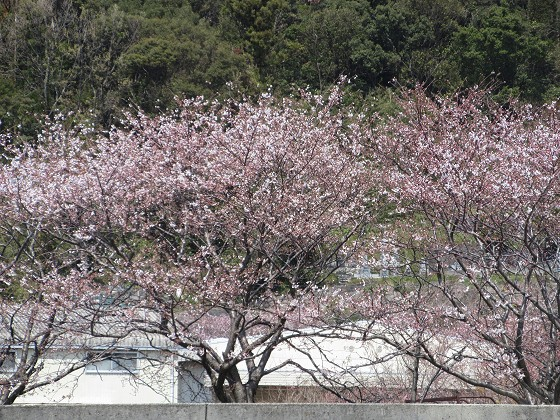 2019-04-06_1200_沖島漁港の桜_IMG_7856_s.JPG