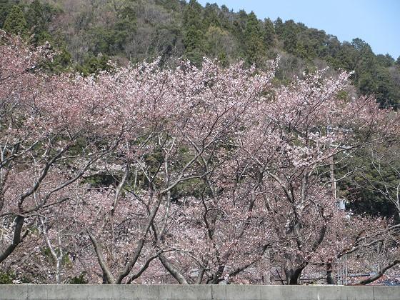 2019-04-06_1201_沖島漁港の桜_IMG_7858_s.JPG