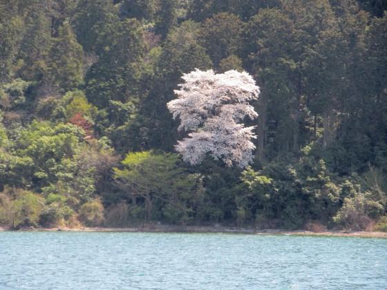 2019-04-06_1210_湖東の湖岸の桜_IMG_7860_s.JPG