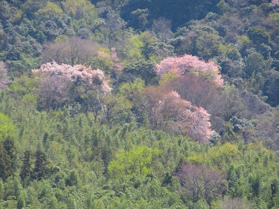 2019-04-06_1213_湖東の山肌の桜_IMG_7869_s.JPG
