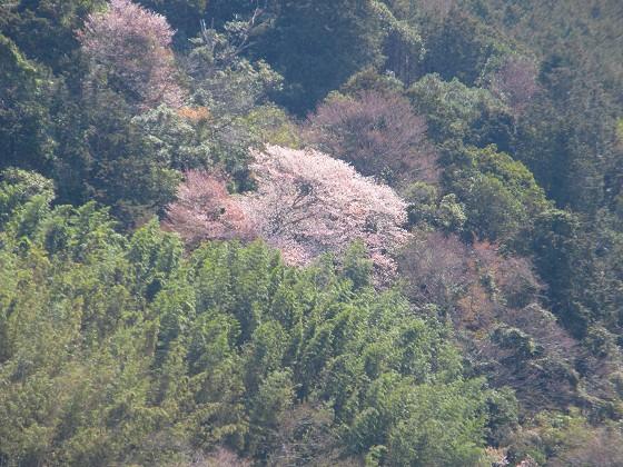 2019-04-06_1215_湖東の山肌の桜_IMG_7874_s.JPG
