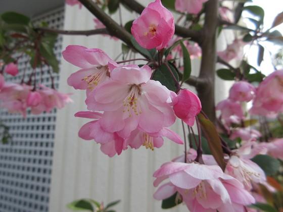 2019-04-07_0934_花海棠_IMG_7911_s.JPG