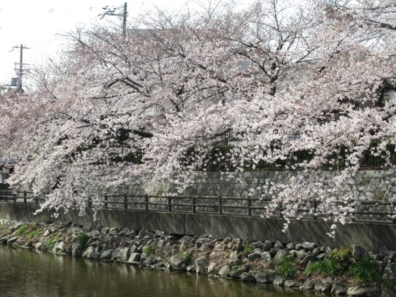 2019-04-07_0942_庄下川・桜_IMG_7937_s.JPG