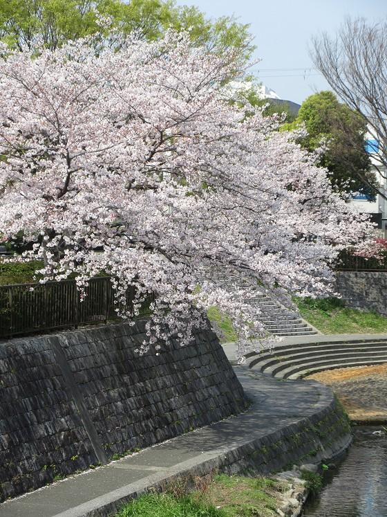 2019-04-07_0948_庄下川・桜_IMG_7946_s.JPG