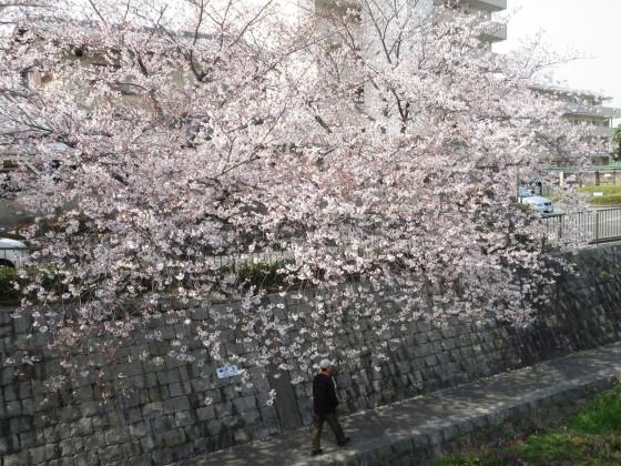2019-04-07_0949_庄下川・桜_IMG_7948_s.JPG