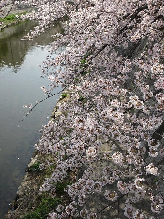 2019-04-07_0949_庄下川・桜_IMG_7949_s.JPG